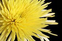 Yellow flower macro black background