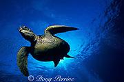 Hawaiian green sea turtle or honu, Chelonia mydas, Kona, Hawaii ( the Big Island ), USA ( Central Pacific Ocean )