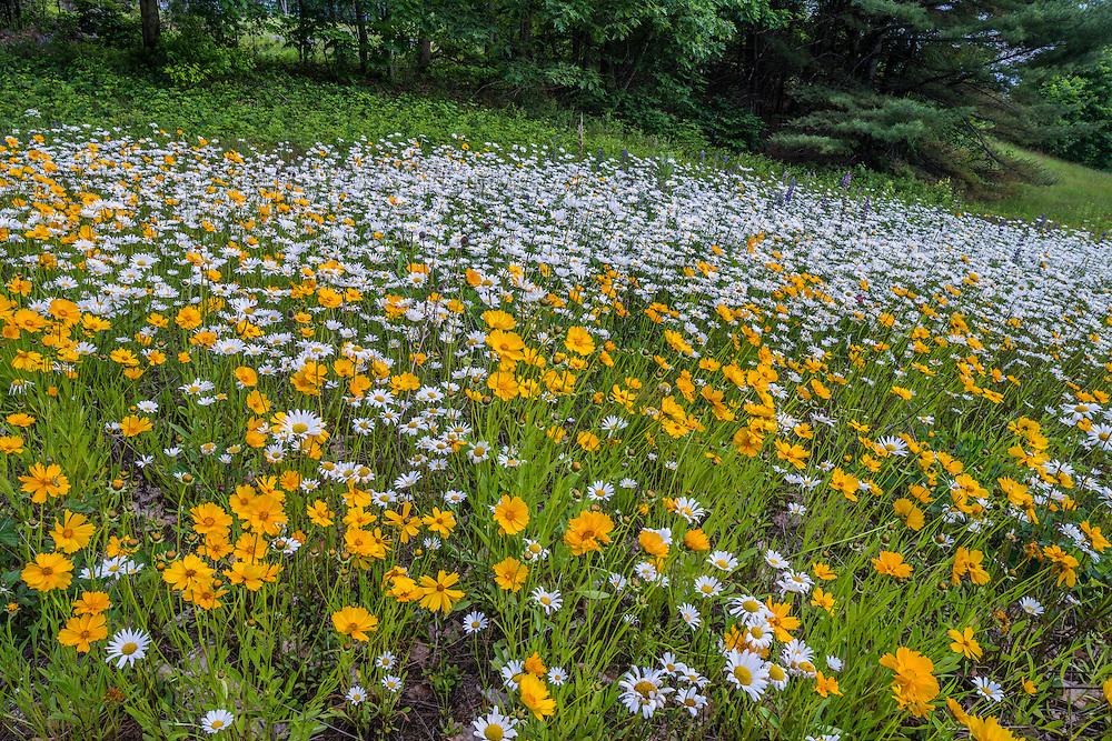 Road side plantings, Dasies and Tickseed, New Hampton, NH