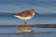 Least Sandpiper - Calidris minutilla - Adult bird moulting into summer plumage