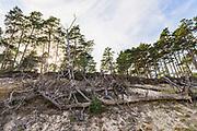 Fallen scots pine (Pinus sylvestris) on steep sand shore near Melnsils, Kurzeme seacoast, Latvia Ⓒ Davis Ulands | davisulands.com