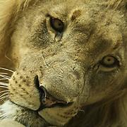 Chilling maned lion.