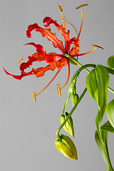 Gloriosa Lily #2