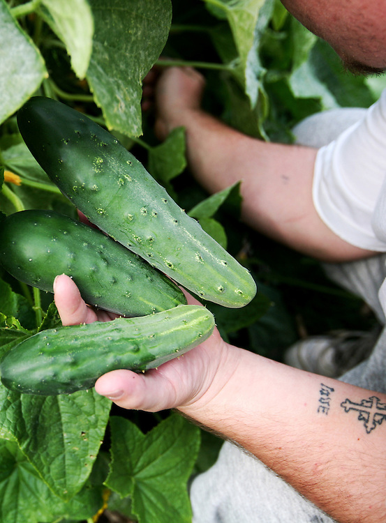 Inmate Nick Citrowske harvests cucumbers in the garden at the Minnesota Correctional Facility in Red Wing August 20, 2012.  (Courtney Perry/Special to the Star Tribune)