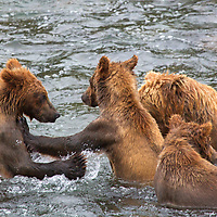 USA, Alaska, Katmai. Grizzly Cubs in water at Brooks Falls, Katmai National Park.