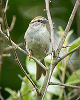 Chipping Sparrow. Image taken with a Nikon D2xs camera and 70-200 mm f/2.8  lens with a 1.4x TC-EII teleconverter.