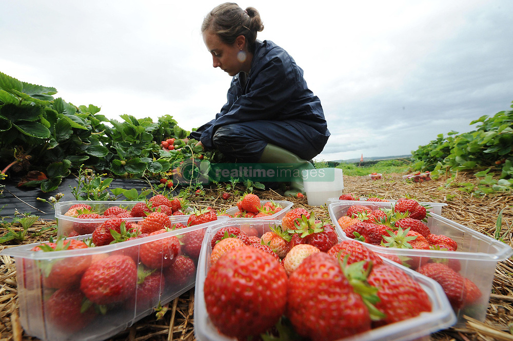 File photo dated 06/08/08 of a person picking strawberries. The number of seasonal workers coming to British farms is down 17\% on levels needed to harvest this season's fruit and veg, the National Farmers' Union has warned.
