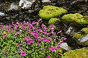 Lewis' monkeyflower (Erythranthe lewisii) blooms pink along a stream on the Spray Park–Knapsack Pass Loop, in Mount Rainier National Park, Washington, USA. Caution: the unmaintained and unmarked Knapsack Pass trail exposes experienced hikers to slippery scree and steep snow (possibly icy), best hiked in late summer using a good GPS device, map, and trekking poles. Erythranthe lewisii was formerly known as Mimulus lewisii before DNA evidence reclassified it in 2012. It is named in honor of explorer Meriwether Lewis.
