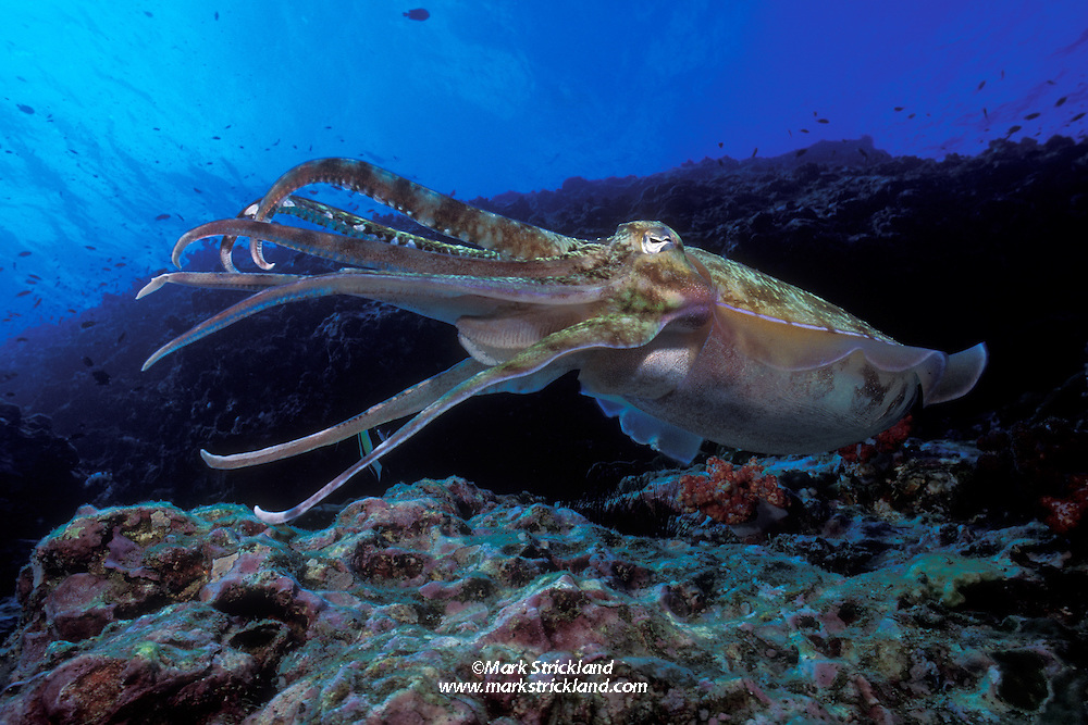 A Pharaoh Cuttlefish, Sepia pharaonis, hovers over a rocky reef.  Richelieu Rock, Thailand, Andaman Sea