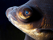 Close-up of the head and face of a Black Moor fish (Carassius auratus) showing its huge bulging telescopic eyes eyes in an aquarium at King's Lynn Koi Centre Norfolk.