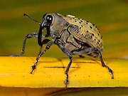 Weevil, Curculionoidea sp, Panama, Central America, Gamboa Reserve, Parque Nacional Soberania, yellow and black, on leaf