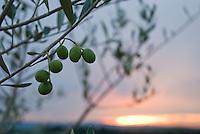 An olive grove at sunset, near San Donato in Poggio, Tuscany, Italy.