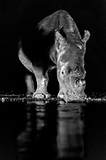 Two white rhinoceroses (Ceratotherium simum) at a pond in Zimanga Private Reserve, South Africa, during night.