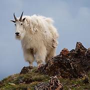 Mountain goat  on rocky edge in mountains. Spring. Montana.