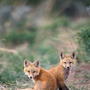 Red Fox, (Vulpus fulva) Pair of pups together near den. Spring.