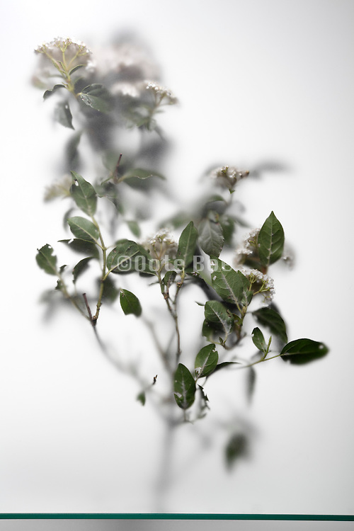 tree type of plant twig with little white flowers
