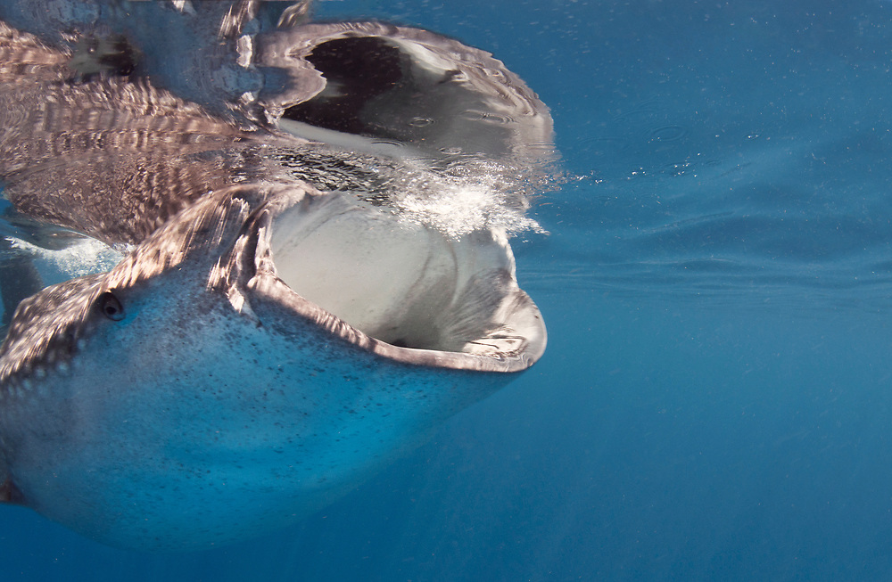 The open mouth of a whale shark (Rhincodon typus) feeding at the surface in Mexico.