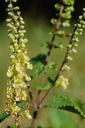 Valse salie, Teucrium scorodonia