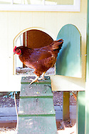 Chickens in their coop in an urban backyard in Portland, Oregon