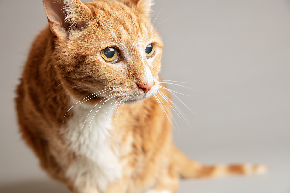 Close up portrait of an old tabby cat