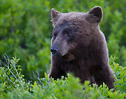 A Grizzly Bear stares down a Bee in Glacier National Park.