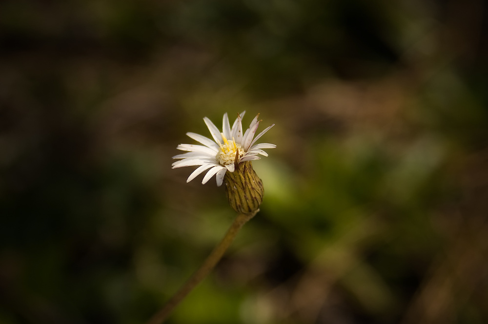 The beautiful and solitary pineland daisy photographed in the CREW Marsh Hiking Trails in Collier County, Florida. This plant has a single stem with a single flower.