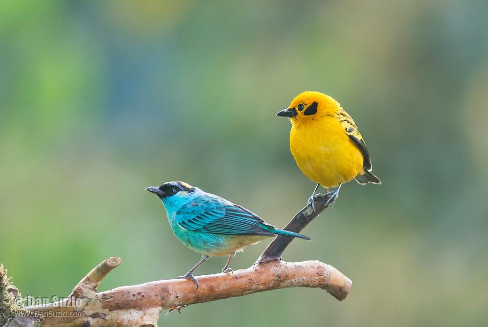 Golden-naped tanager, Tangara ruficervix (left), and golden tanager, Tangara arthus goodsoni. Tandayapa Valley, Ecuador