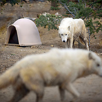 030115  Adron Gardner/Independent<br /> <br /> Arctic wolves, Sugar and Axel walk through their pen at the Wild Spirit Wolf Sanctuary in Candy Kitchen Saturday.