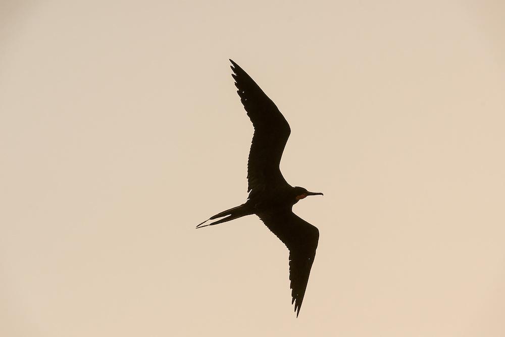 A male Magnificent Frigatebird soars over the Everglades
