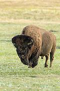Enormous bull bison (buffalo) in light rain on the prairie