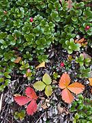 Bearberry, Arctostaphylos uva-ursi, and Mountain Strawberry, Fragaria virginiana, open forest floor near Bowman Lake, Glacier National Park, Montana.