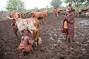 Himba women milk cows in the small village of Okapembambu in northwestern Namibia. The Himba diet consists of corn meal porridge and sour cow's milk.  Like most traditional Himba women, she covers herself from head to toe with an ochre powder, cow butter blend.