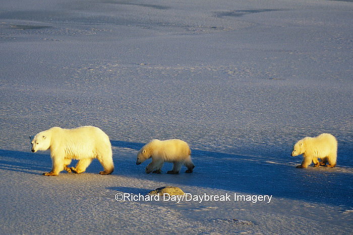 01874-01117 Polar Bears (Ursus maritimus) female with 2 cubs walking on frozen pond  Churchill  MB