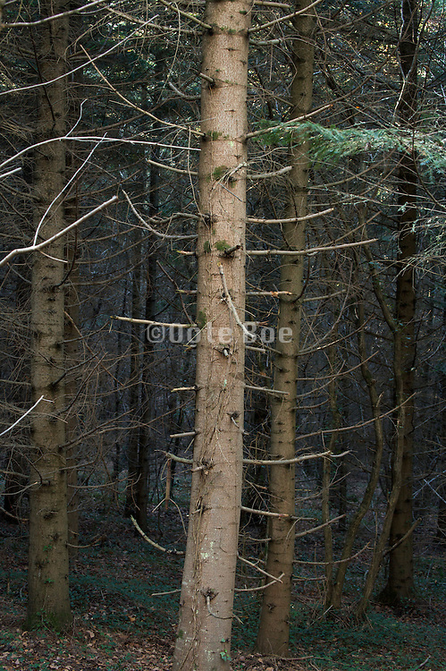 close up of a planted pine trees forest and twigs during late autumn season