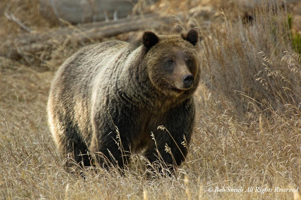 Brown bear in late fall, Moran Junction, Grand Teton National Park, WY  11/7/07  ursus arctos