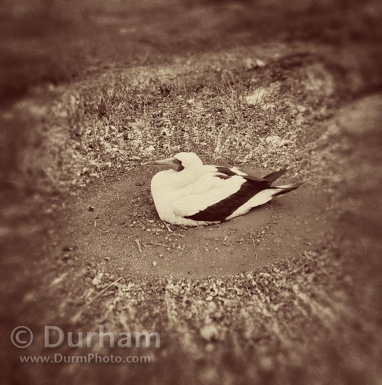 A nazca booby (Sula grunti) sitting on a ground nest on Genovesa Island, Galapagos Archipelago - Ecuador.