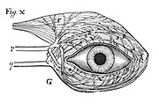Descartes' idea of the 'hydraulic' action of the nerves (P,q) which he believed were hollow, provided with valves and supplied with fluid to cause the muscles to operate. They are here operating the muscles of the eye. From Rene Descartes 'Opera Philiosophica', Frankfurt-am-Main, 1692. Woodcut.