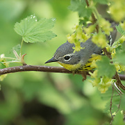 Canada warbler (Cardellina canadensis) perched amid foliage in early spring at Magee Marsh wildlife area, NW Ohio.