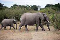 bunch of elephants ,Elephantidae, in the bush of the masai reserve in kenya africa