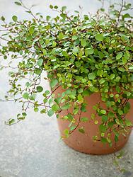 Muehlenbeckia complexa in a terracotta pot - Maidenhair vine