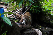 A curious white-nosed coati (Nasua narica), or coatimundi, prowls for food at the Aztec archeological site of El Tepozteco, above the town of Tepoztlan, Morelos, Mexico on June 13, 2008.