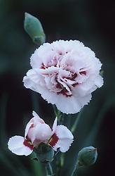 Dianthus 'Cranmere Pool'- Carnation, Pink