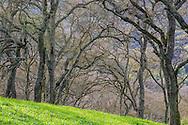 Oak trees in eary Spring, Briones Regional Park, Contra Costa County, California