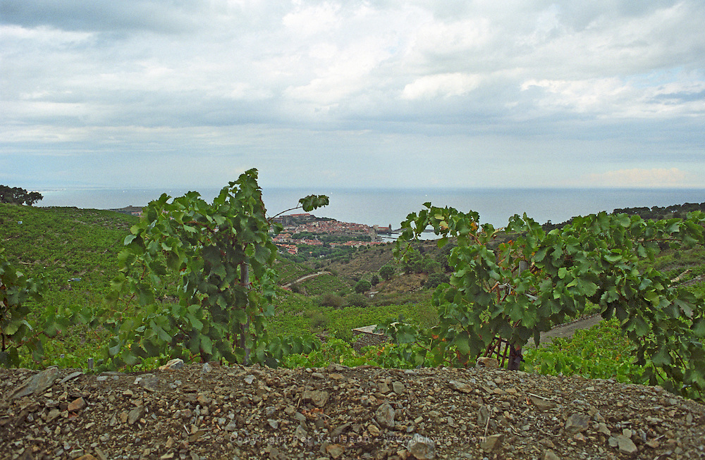 A view over the vines in the vineyard and the village Collioure with the Mediterranean sea, Languedoc-Roussillon, France
