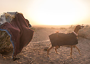 Afghan hound dog in a nomad camp on edge of Lut Desert.