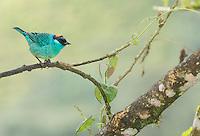 Golden-naped tanager, Tangara ruficervix, Tandayapa Valley, Ecuador