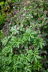 Pulmonaria and geranium foliage