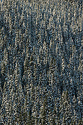 Trees on  mountain slope<br /> Kootenay National Park<br /> British Columbia<br /> Canada