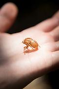 The final Exuvia of a Cicada, Manu learning centre, Manu National Park, Peru, South America