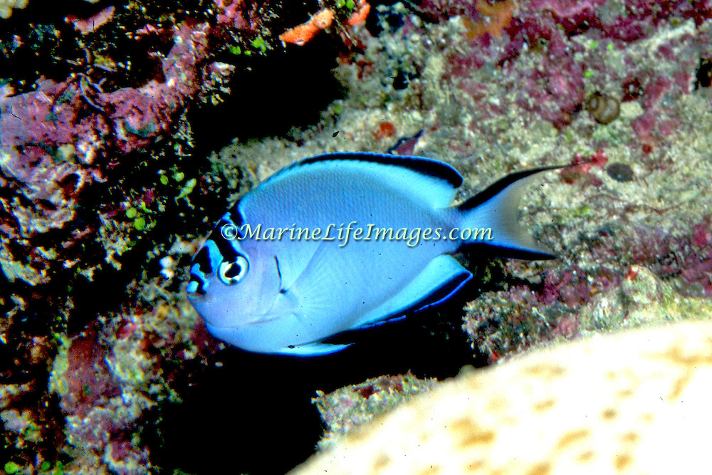 Pinstriped Angelfish inhabit reefs. Picture taken Solomon Islands.
